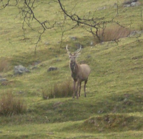 Stag on Scottish hillside